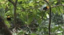 Pair Of Male Golden-Headed Manakin Birds On Branch In Rainforest, Both Fly Away