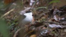 Male White-Bearded Manakin Bird On Branch, Flies Away, Returns