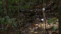Male White-Bearded Manakin Birds Flit Around Forest