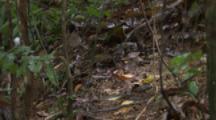 Male White-bearded Manakin Bird Flits Around Forest