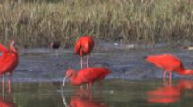 Scarlet Ibises In Wetland, some Fly Away