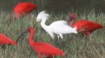 Scarlet Ibis In Grassy Wetland With Possibly A Snowy Egret