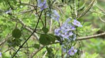 Hummingbird, Possibly Purple-Throated Carib, Feeds On Flower In Jungle