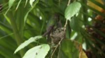 Hummingbird Lands And Feeds Babies In Nest