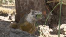 Land Iguana Feeds On Cactus