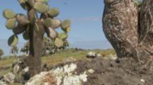 pan across lava and cactus to reveal Land Iguana