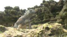 Marine Iguana rests on lava rocks