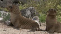 Sea Lion pups On Beach next to blue-footed booby on nest
