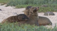 Sea Lion pups On Beach, Galapagos