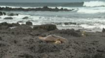 Fur Seals or Sea Lions On Beach, Pup Nurses