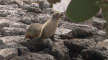 Fur Seal moves across rocky Beach, Galapagos
