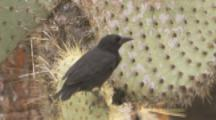 Finch On Prickly Pear Cactus