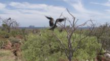 Magnificent Frigatebirds roost in trees, one flies away