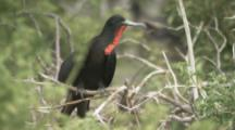 Male Magnificent Frigatebird With Deflated Red Gular Pouch Among Others In Colony