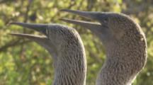 Blue-footed Boobies In Courtship Display, both vibrating throats
