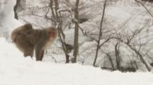 Japanese Macaques In Snowy Forest,baby rides on mother's back