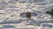 Steller's Sea Eagle On Sea Ice,takes off