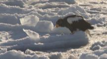 Steller's Sea Eagle On Sea Ice feeds on prey