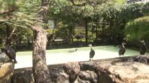 Birds Used For Traditional Cormorant Fishing In Japan in swimming pool at house