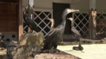 Birds Used For Traditional Cormorant Fishing In Japan swim in pool