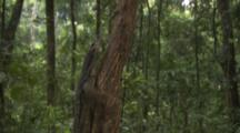 Water Monitor Lizard Climbs Tree In Forest Near Beach