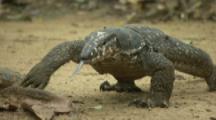 Water Monitor Lizard In Forest near Beach