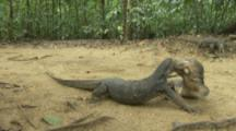 Water Monitor Lizards In Forest near Beach,Two Fight