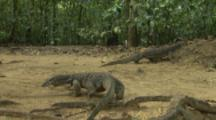 Pair Of Water Monitor Lizards In Forest Near Beach