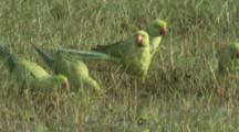 Parakeets,Possibly Rose Ringed Parakeets,In Grass