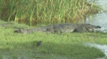 Crocodiles,Possibly Mugger Crocodile,In Marsh