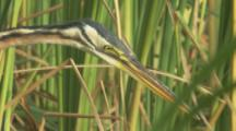Close Up Heron,Possibly Purple Heron,Hunts In Marsh Grass