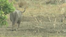Water Buffalo And Spotted Deer In Wetland