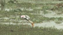 Painted Storks Feed In Marsh
