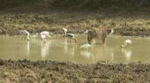 Painted Storks Feed In Marsh With Water Buffalo