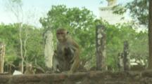 Toque Macaque with baby on wall At Ruins