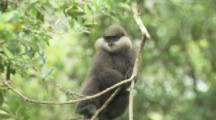 Purple-faced Langur Monkey In Forest