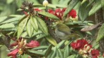Sri Lanka White-Eye Bird On Red Rhododendron Flowers