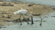 Eurasian Spoonbill Wades In Marsh,Feeding