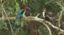 White-Throated Kingfishers On Branch,Prey In Mouth