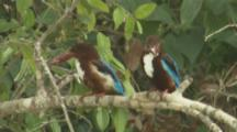 White-Throated Kingfishers On Branch,One,possibly juvenile,takes food out of bill