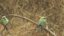 Green Bee-Eaters On Branch,one flies away and returns
