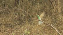 Green Bee-eater On Branch,flies away,returns