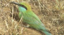 Green Bee-Eaters Feed Young In Ground Nest