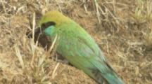 Green Bee-Eater Feeds Young In Ground Nest,digs