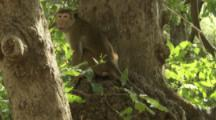 Toque Macaque in tree At Ruins