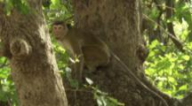 Toque Macaques climb in trees At Ruins