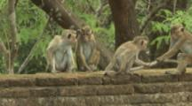 Toque Macaques interact on wall At Ruins