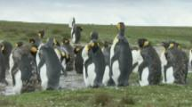 King Penguin colony,Preening