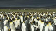 Sheep Graze behind King Penguin colony,Very dark clouds above