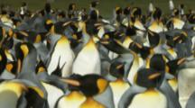 Two King Penguins Walk Through Crowded Colony